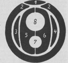 Схема поперечного сечения хоботка тли