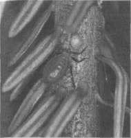 Зеленая пихтовая тля (Cinara pecti-natae), сосущая сок