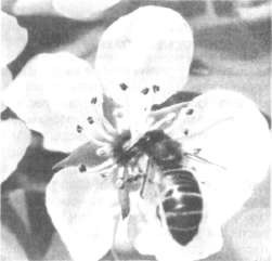 Пчела посещает цветок яблони