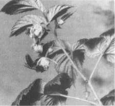 Пчела работает на цветках малины