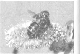 Пчелы на иве-бредине