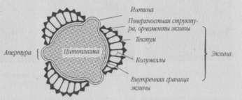 Схематический разрез пыльцевого зерна