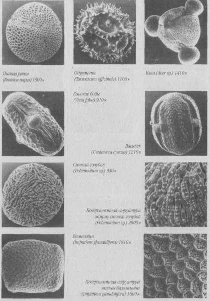Пыльца в немецких медах под растровым электронным микроскопом