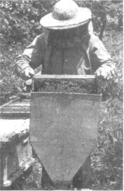 Стряхивание пчел в бессотовый пакет через воронку