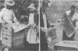 Осмотр пчелиных семей: слева — среднерусской, справа — карпатской пород