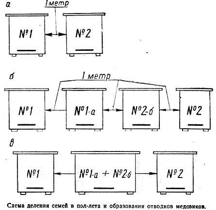 Схема деления семей в пол-лета и образования отводков медовиков