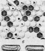 а — расплод, пораженный американским гнильцом; б — больная и погибшая личинки