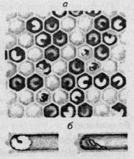 а — расплод, пораженный европейским гнильцом; б — больная и погибшая личинки