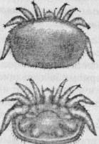 Взрослая самка клеща Варроа (вид со стороны спинки и брюшка)