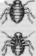 Взрослая браула (вид со стороны спинки и брюшка)