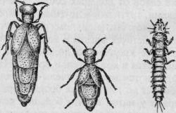 Самки жуков маек (слева — пестрой, справа — обыкновенной) и личинка пестрой майки