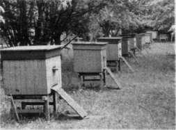 Размещение и обустройство пчелиных семей на пасеке