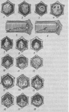 Личинки и куколки, погибшие от американского гнильца