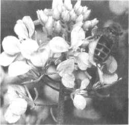 Соцветие горчицы белой