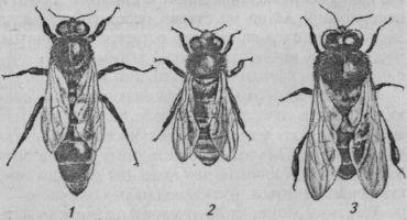 Особи пчелиной семьи: 1 — матка; 2 — рабочая пчела; 3 — трутень