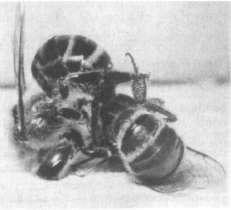 Борьба между пчелами-охранниками и воровками