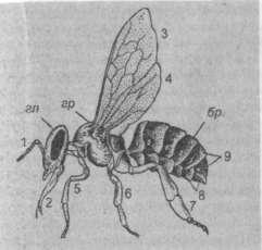 Строение тела пчелы