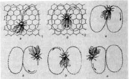 виляющий танец пчелы-сборщицы