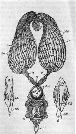 Половые органы матки, рабочей пчелы и пчелы-трутовки