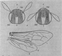 Крылья пчел